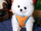 大连繁殖基地出售超大毛量的博美犬 品质售后均有保证