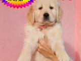 CKU认证——实物拍摄——假一赔十——金毛幼犬