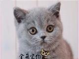 出售超萌英短蓝猫宝宝 可爱黏人 价格实惠欢迎各位铲