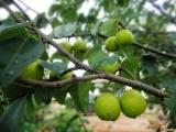 想买品种好的梨树苗上哪 安徽梨树苗哪家好