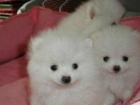 300起出售纯种球体博美幼犬肩高不超18厘米不超过3斤