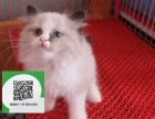 深圳哪里有宠物猫出售,深圳哪里有卖纯种布偶猫价格