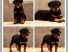 精品罗威纳幼犬出售年初特价 支持全国飞 签协议
