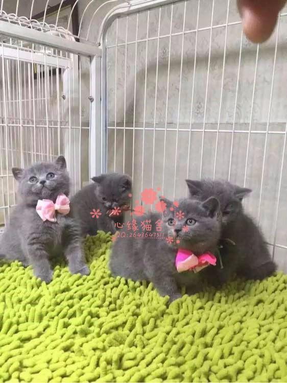 乌鲁木齐哪里有正规宠物店买卖蓝猫 乌鲁木齐较便宜蓝猫多少钱