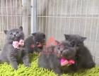 无锡哪里有正规宠物店买卖蓝猫 无锡较便宜蓝猫多少钱