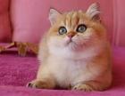 重庆英短猫舍金渐层银渐层银点注册猫舍