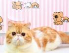 CFA红虎斑加白加菲猫种公对外借配1000