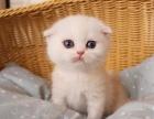纯种折耳猫宝宝多窝可以选择签质保可上门挑选