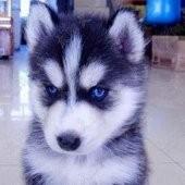 犬舍出售纯种哈士奇幼犬 价格500品质优良 签订活体协议