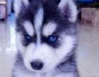 犬舍出售纯种∮哈士奇幼犬 价格500品质优良 签订活体协议