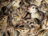供应湖北省内野鸡苗、七彩山鸡苗,提供养殖技术培训和技术指导
