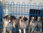 家养纯种苏格兰牧羊犬宝宝找新家