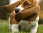 巴吉度幼犬繁殖基地 多只精品宝宝可选