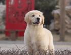 重庆哪里卖纯种金毛犬 重庆金毛多少钱 金毛怎么卖的