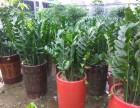 光明新区公明松岗花卉植物租摆,,绿植出租,绿化,大型花场直销