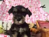 银川纯种雪纳瑞犬价格,银川哪里能买到纯种雪纳瑞犬