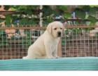 邢台哪里卖黑色拉布拉多犬 邢台哪里卖的拉布拉多便宜