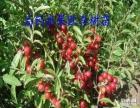 山楂2年生水果苗