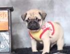 重庆哪里出售巴哥犬 重庆宠物店信誉好