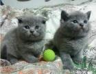 家庭繁殖精品可爱包子脸蓝猫 多窝可选