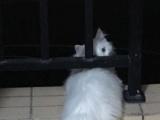 临清狮子猫弟弟双蓝眼转让