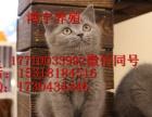 销售俄蓝猫小猫厂家直销