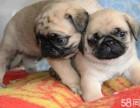 巴哥犬专业繁殖 明码实价 健康品质保证 包 养活