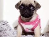 佛山市在哪买狗有保障 禅城哪里有卖巴哥犬 正规狗场