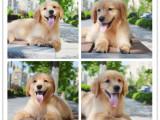 里有卖血统纯正金毛犬导盲犬大头宽嘴金毛高品质健康保障