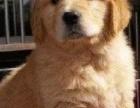 北京康青名犬纯种金毛价格纯种金毛幼犬多少钱金毛哪里