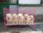 500一只小松狮犬是肥嘟嘟的小狗 很可爱