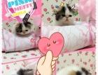双证加菲猫 异短 异国短毛猫