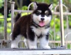 郑州纯种阿拉斯加价格 郑州哪里能买到纯种阿拉斯加犬