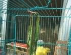 娄娄鸟,大反,菊花顶
