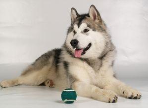 阿拉斯加雪橇犬灰桃红桃 血统狗狗 100%健康纯正 价格亲民
