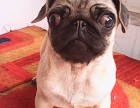 出售巴哥犬幼犬,价格美丽品质优良,签署合同质保