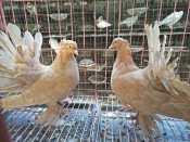 哪里能买到价格合理的种鸽,鸽子吃什么