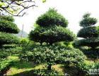 襄阳盆景 紫薇 对节白腊,枸骨等大量盆景出售
