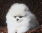 现货小体博美幼犬 可送货包健康包纯种