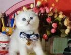 #全价#银渐层/包子脸/折耳/英短/幼猫/奶猫/宠物猫