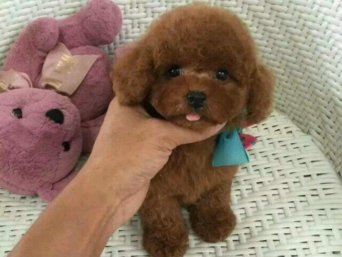 深圳高品质的泰迪 比熊 博美 柯基出售了 疫苗做完 质量三包
