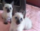 给几个可爱暹罗猫找好人家