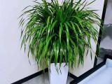 苏州里购买便宜绿植-龙须树天堂鸟发财树-养殖基地销售配送