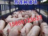哪里出售瘦肉型三元仔猪猪苗小猪价格便宜