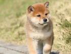 柴犬领养柴犬幼犬纯种家养繁殖柴犬出售精品家养活体宠物狗
