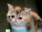 纯种加菲猫扁脸蓝色大眼直销品质保证终生咨询