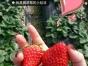 快来金清采摘鲜牛奶草莓