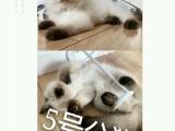 超级可爱布偶猫DDMM低价转让