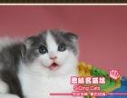 超美蓝高白双色折耳猫小帅哥--《思晴名猫坊》