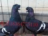 哪里有卖栏杆鸽的,栏杆鸽一对多少钱,栏杆鸽价格